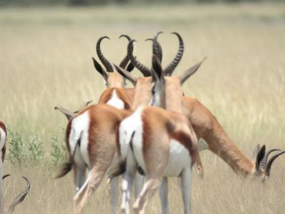 Springböcke im Khutse Game Reserve in Botswana